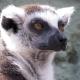 A concentrating Lemur