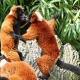 Rode-vari-Artis-lemurs