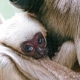 A really cute baby Gibbon