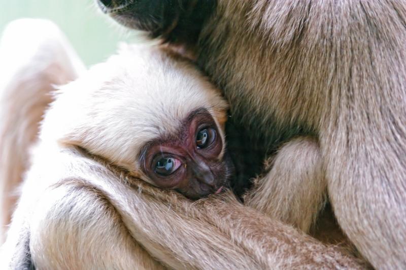 A really cute baby Gibbon