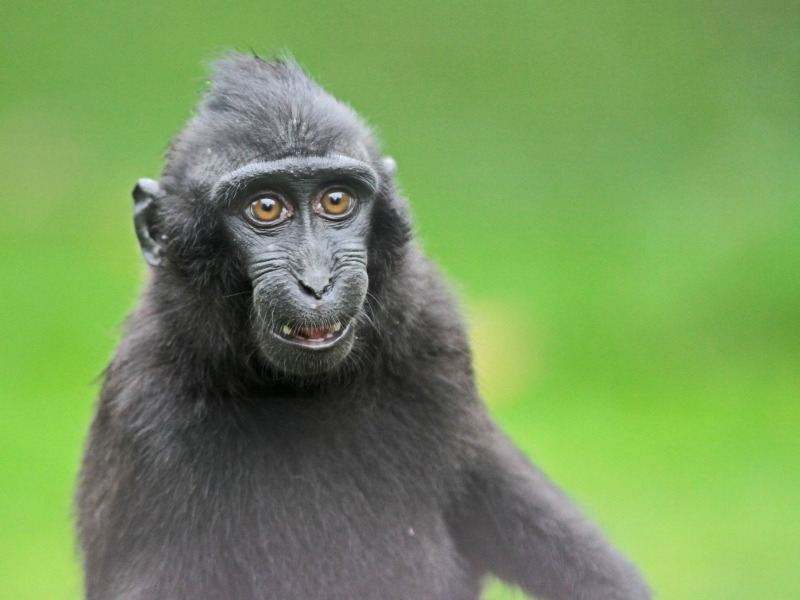 A very funny Celeb Crested Macaque monkey