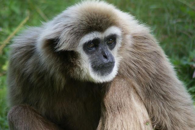 Witwang-gibbon