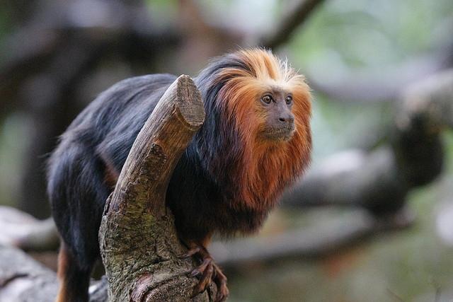 Gold-headed-lion-monkey