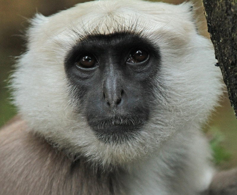 White faced Langur monkey
