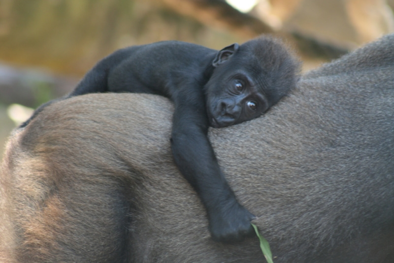 Western Lowland Gorilla baby at Taronga zoo