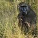Baboon at Skukuza in Mpumalanga