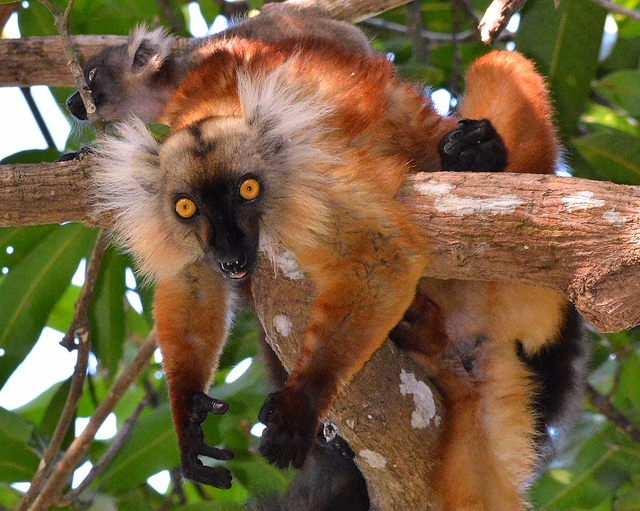 Black-Lemur-just-Hanging-Around