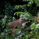 Capuchin-Monkey-1