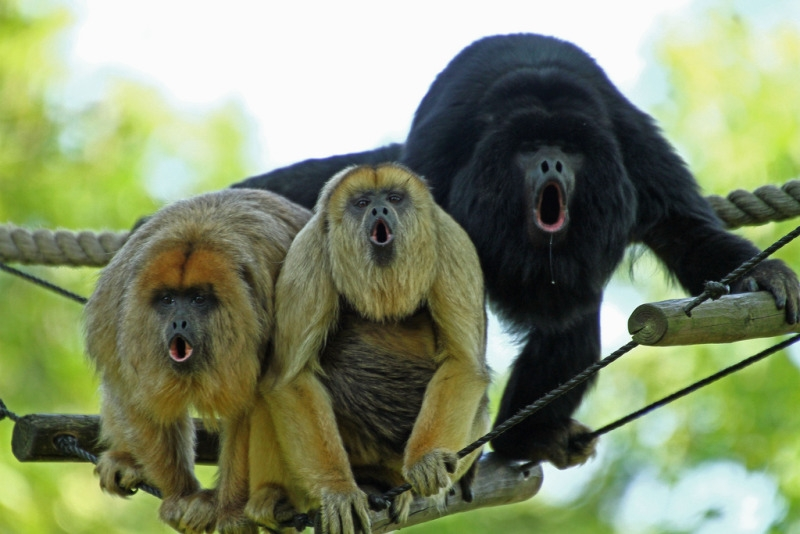Three screaming Howler monkeys