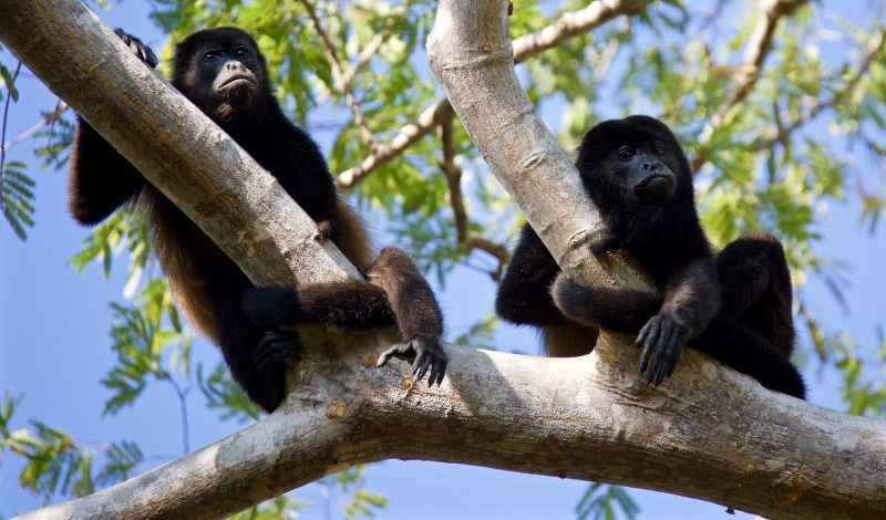 Two Howler monkeys take a break