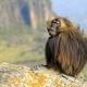 Gelada-baboon-2
