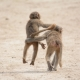 Happy Baboon friends