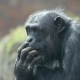 Older Chimpanzee looking concerned at his Taronga zoo