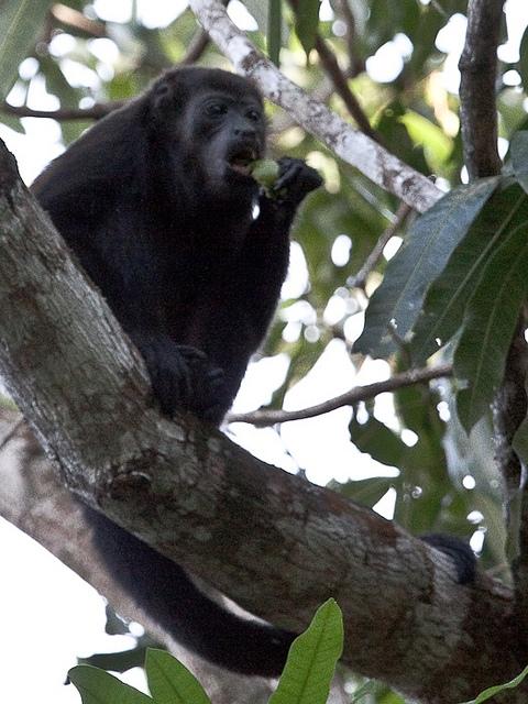 Mantled-Howler-Monkey-9