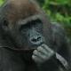 Gorilla-Westelijke-laagland-gorilla-burgers