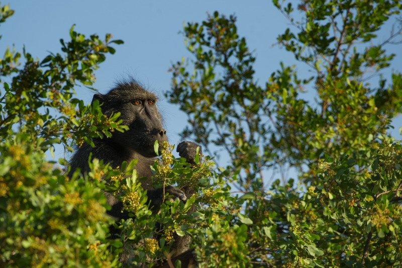 Baboon high up in his tree