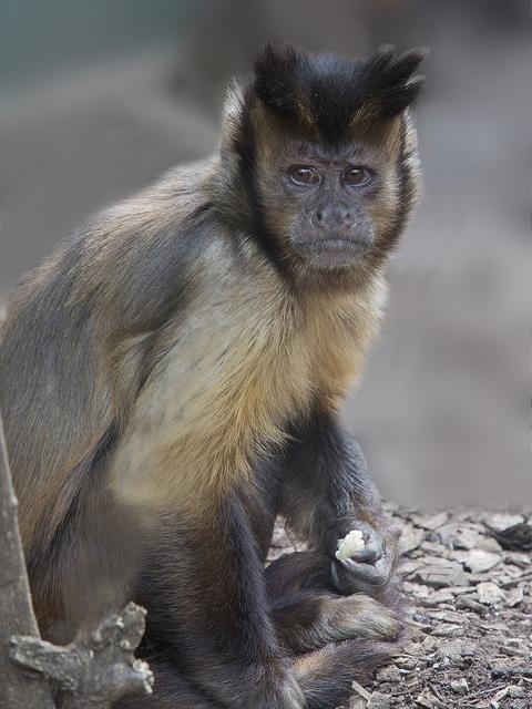Capuchin-Monkey-Cebus-Capuchinus-1