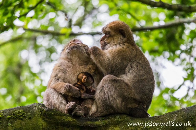 A baby Barbary macaque joins its parents