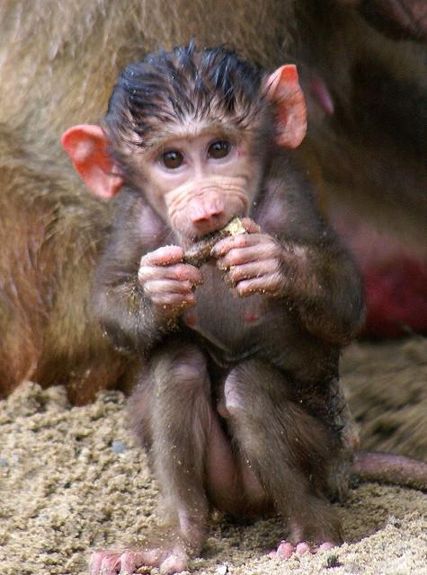 Baby-Baboon