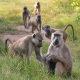 Group of Baboons in Grass