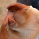 Male-Proboscis-Monkey