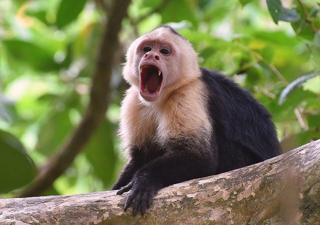 White-faced-Capuchin-Monkey-1