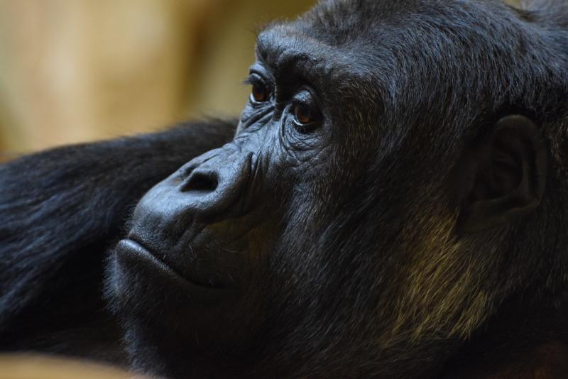 Sad looking Gorilla