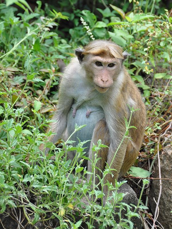 Toque Macaque in Sri Lanka