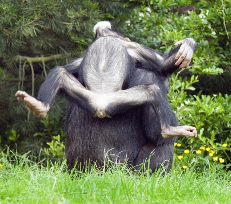 Chimpanzee having a relaxing day
