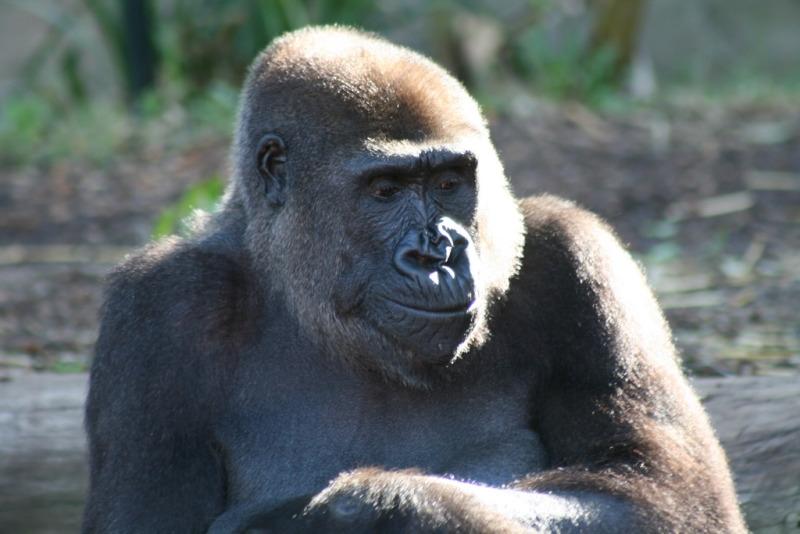 Stunning Western Lowland Gorilla