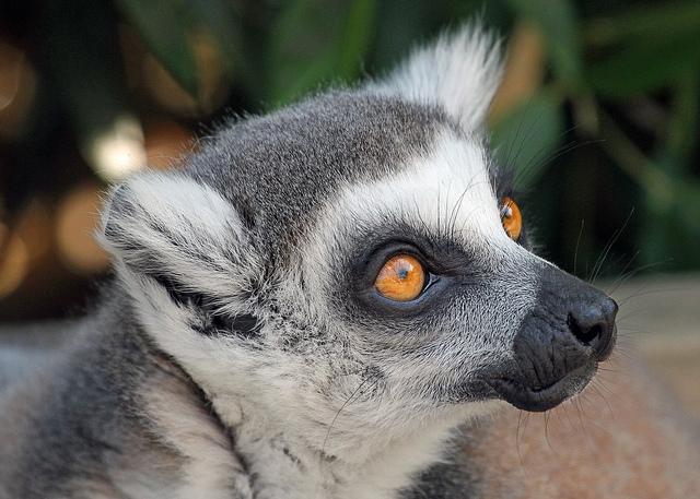 Lemur-3