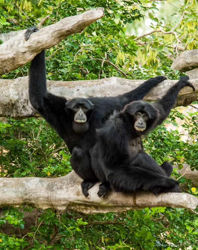 Two Siamang Gibbons playing in a tree