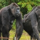 A Gorilla family on a day out