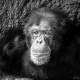 Black and white majestic Chimpanzee