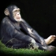 Chimpanzee in the spotlight in the UK