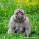 A female Barbary macaque captured amongst the buttercups