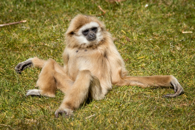 White Handed Gibbon spreading out on the grass