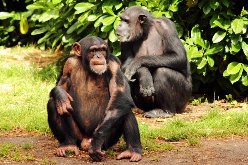 Pair of chimps grooming