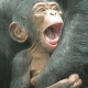 Wide mouthed baby Chimp