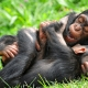 Two young male chimpanzees playing together
