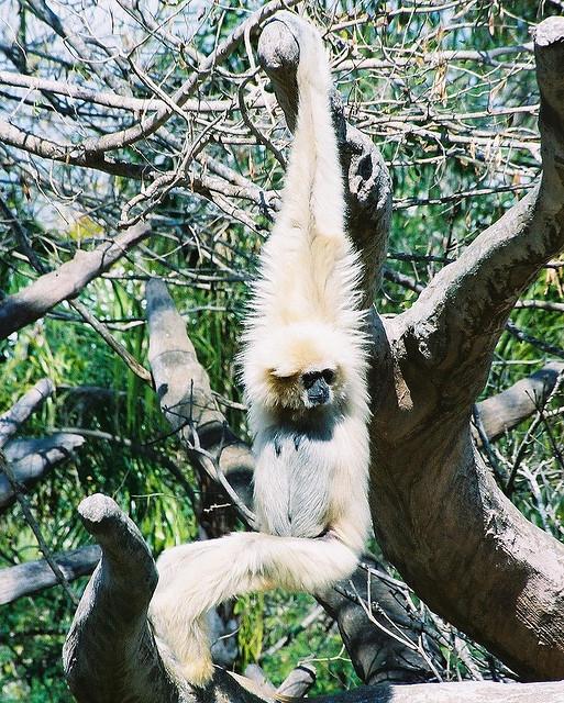 White-handed-gibbon-2