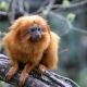 Golden Lion Tamarin clutches to a branch