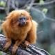Golden Lion Tamarin clutches to a branch
