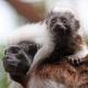 Two cotton top Tamarin monkeys