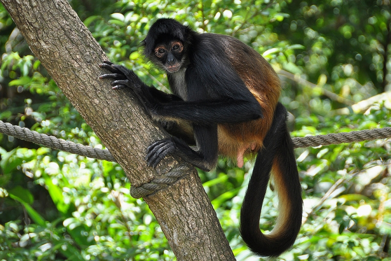 Spider Monkey stares from a tree