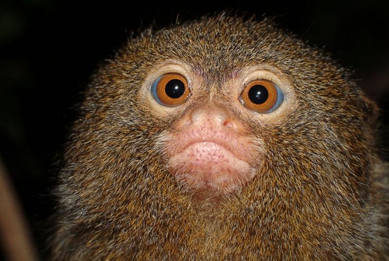 Beautiful marmoset monkey in Sweden