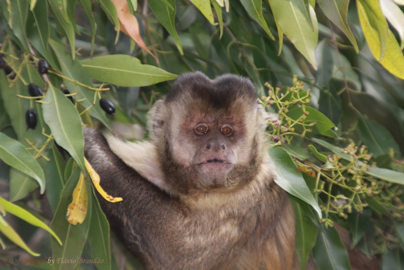 Capuchin monkey eating berries