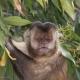 Capuchin monkey eating berries