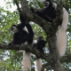 Family of Colobus monkeys in the tree