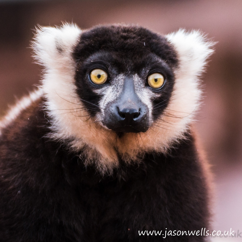 Belted black and white lemur at South Lakes Zoo